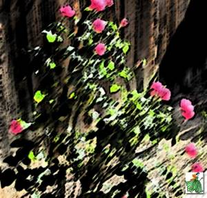 rosecrazy
